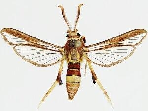 Cissuvora ampelopsis - Hodges #2521 - Cissuvora ampelopsis