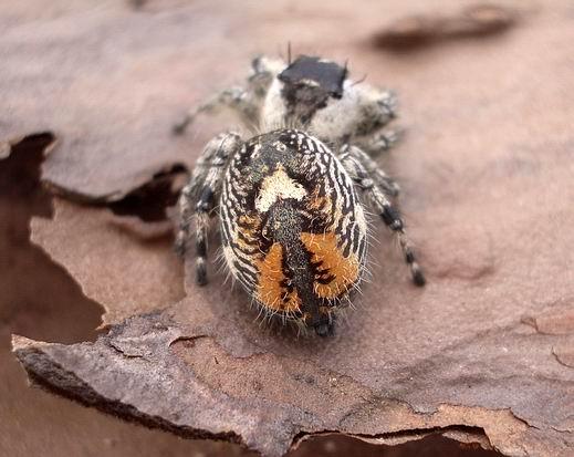 GA gal - Phidippus otiosus - female