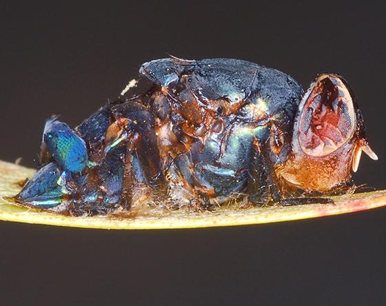 parasitized fly