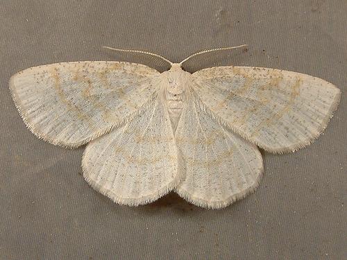 1208 Cabera erythemaria - Yellow-dusted Cream Moth 6677 - Cabera erythemaria - male