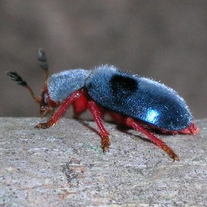 Blue Beetle on my cut crape myrtle branches - Chariessa vestita