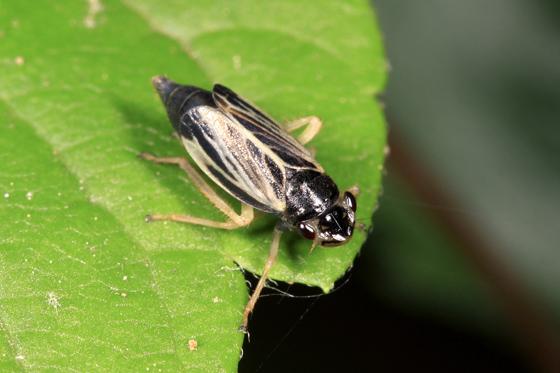 Leafhopper - Evacanthus nigramericanus