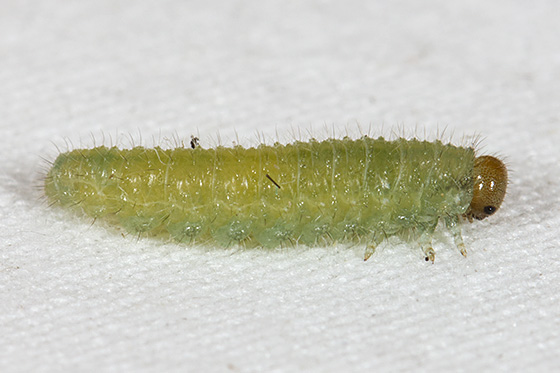 Bristly Rose Slug - Cladius difformis