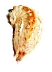 furry caterpillar - Megalopyge opercularis