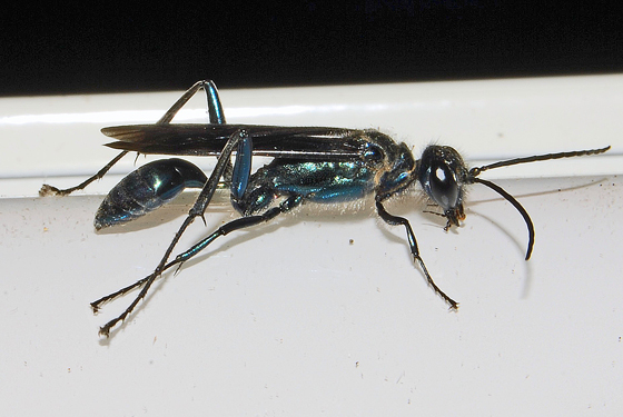 Blue Mud Daubber - Chalybion californicum
