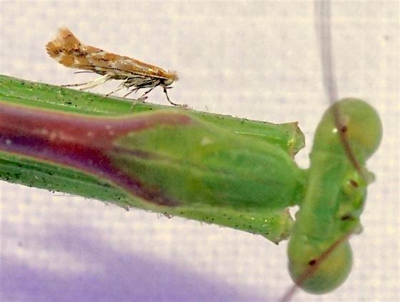 Bucculatrix quadrigemina on a Mantis