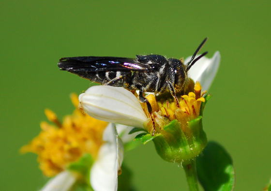 fly or bee? - Coelioxys dolichos - male