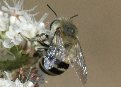 Is this bee anthophora urbana? - Anthophora urbana