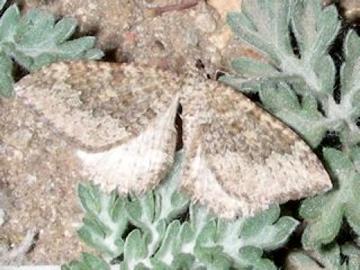 Entephria takuata - Triphosa californiata