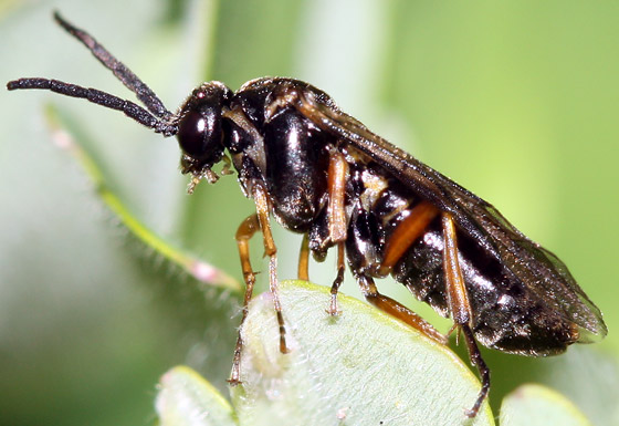 Wasp or Bee? - Pristiphora rufipes