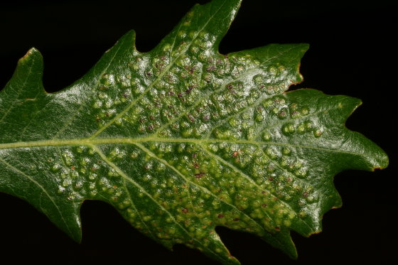 Bur oak galls - Neuroterus saltarius