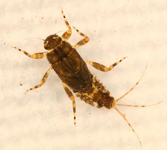 Aquatic Larva - Ephemerella invaria