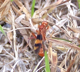 red wasp with red & black wings - Compsocryptus