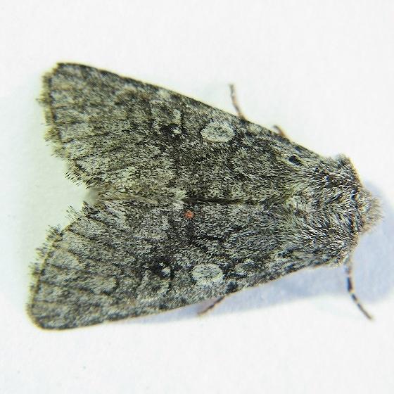 Lasionycta perplexa - Hodges #10352 - Lasionycta perplexa