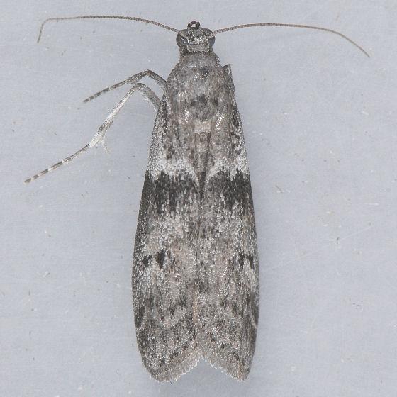 6020 Mediterranean Flour Moth ??? - Ephestia kuehniella