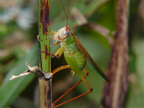 Handsome Meadow Katydid - Orchelimum pulchellum - female