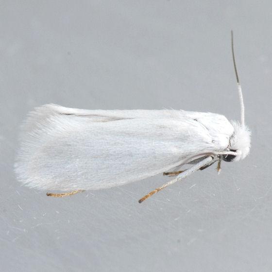 200.1 Bogus Yucca Moth  - Prodoxus decipiens