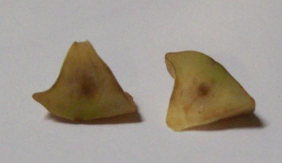 Adleria quercusstrobilana - Andricus quercusstrobilanus