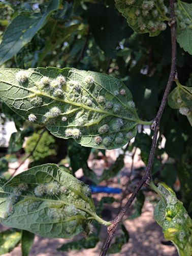Hackberry tree-wooly galls?