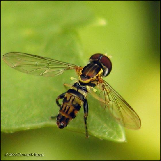 Syrphid - Toxomerus geminatus - male