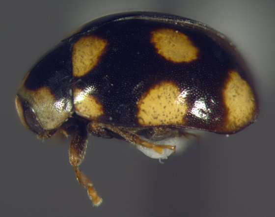 Coccinellidae, lateral - Brachiacantha ursina