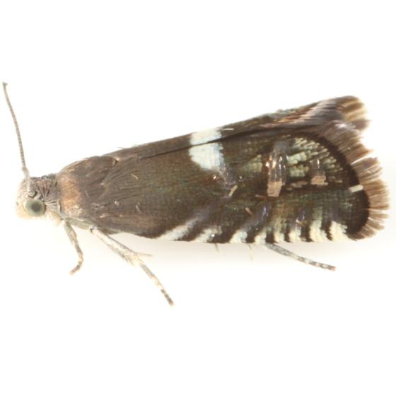 Grapholita thermopsidis - female