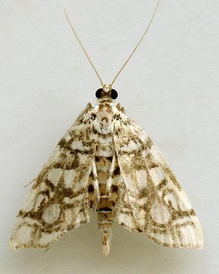 Moth 32 - Lygropia rivulalis