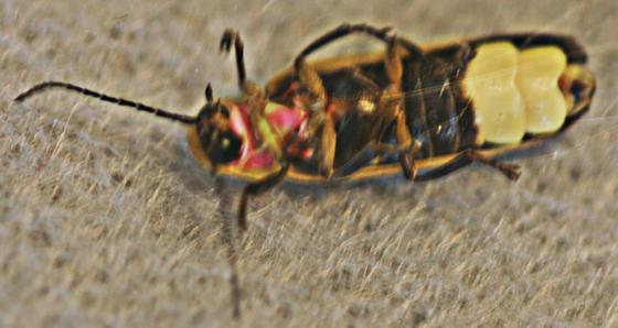 lightning bug bottom view id
