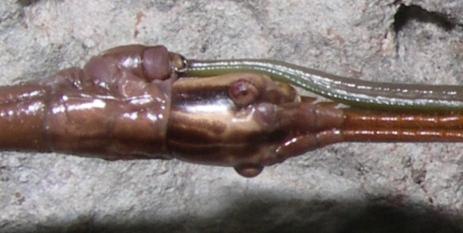 Walkingstick - Diapheromera femorata