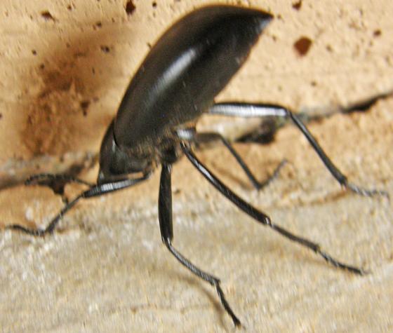 Sp. Stink Beetle - Eleodes