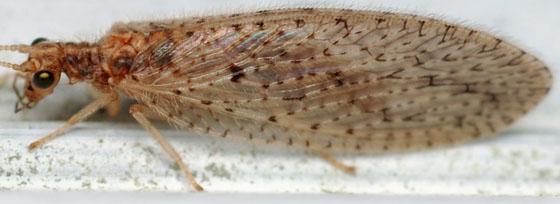 brown lacewing - Micromus subanticus