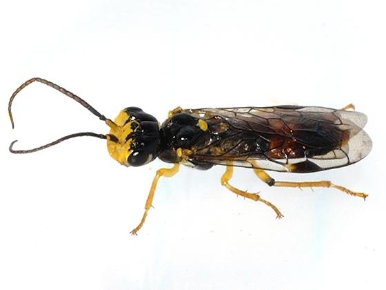 Sawfly - Onycholyda rufofasciata