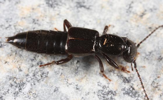 Rove Beetle - Lathrobium