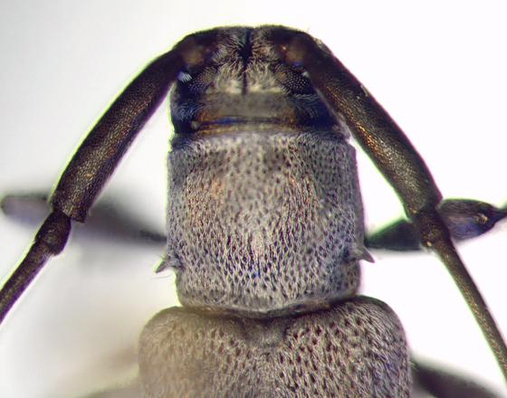Cerambycidae, pronotum - Dectes sayi