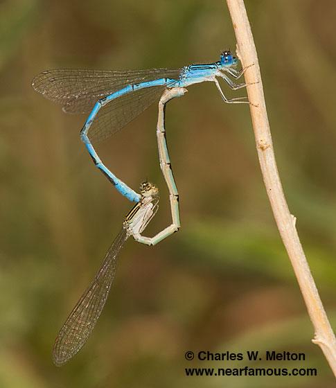 Enallagma basidens - male - female