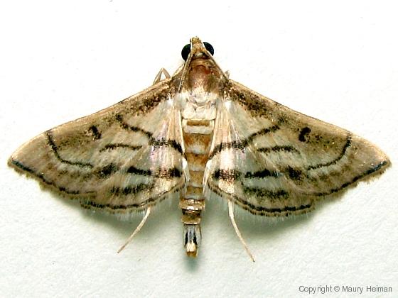 Maize webworm -  Hodges # 5288 - Cnaphalocrocis trapezalis
