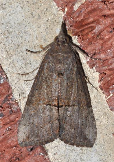 Hypena scabra - green cloverworm moth - Hypena scabra
