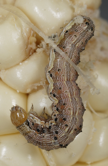Corn Earworm - Helicoverpa zea