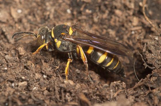 Digger wasp - Hoplisoides