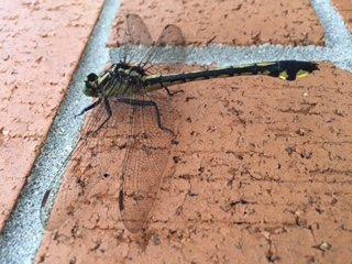 Gomphus/clubtail species - Gomphurus lineatifrons - female