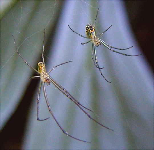 Orchard Spiders - Leucauge venusta - male - female
