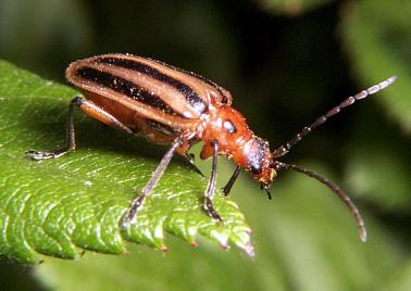 Orange w/ black stripes beetle - Brachysomida bivittata