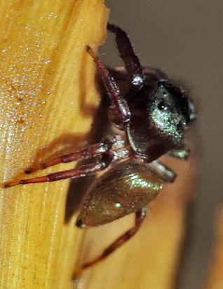 Jumping Spider - Messua limbata - female