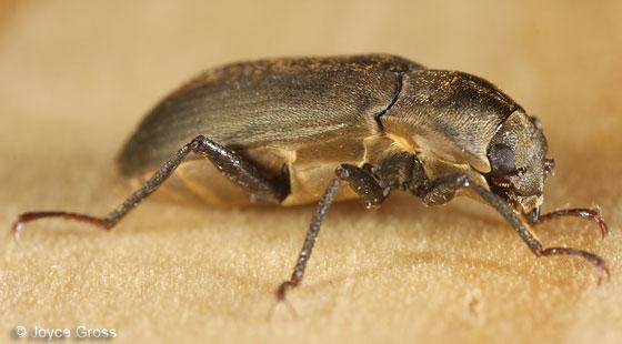 dryopid - Postelichus