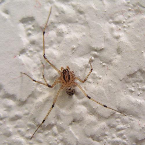 Spider - Scytodes lugubris - male