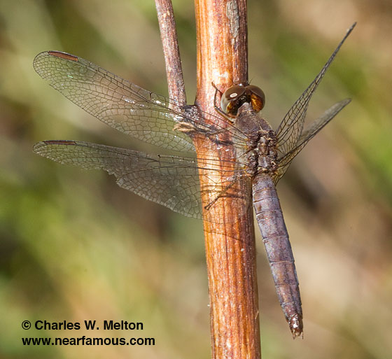 Western Pondhawk - Erythemis collocata - male