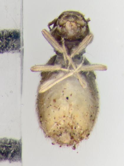 Psocodea, ventral - Lepinotus reticulatus