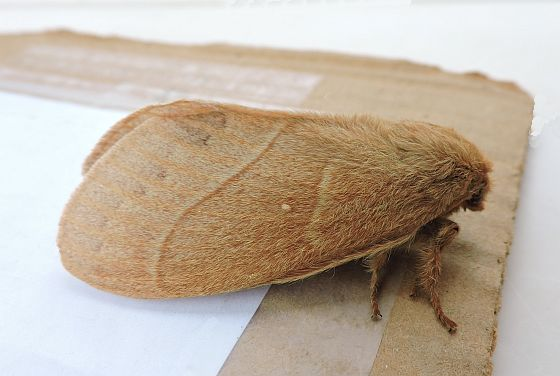 Arizona Moth - Dicogaster coronada