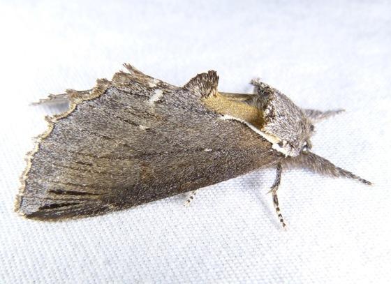 Elegant prominent - Pheosidea elegans