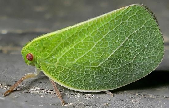 planthopper - Acanalonia servillei
